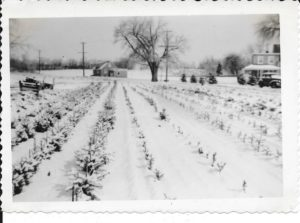 early-christmas-trees-on-tilden-lane-1940s-1024x760